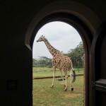 GiraffeManor-1987