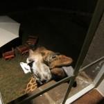 GiraffeManor-2105