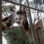 GiraffeManor_Kenya-1130663