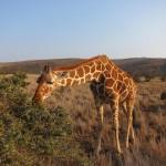 LewaDowns_Kenya-1566