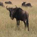 Serengeti-1120729