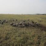 Serengeti-1382