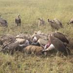 Serengeti-1384