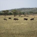 Serengeti-1394